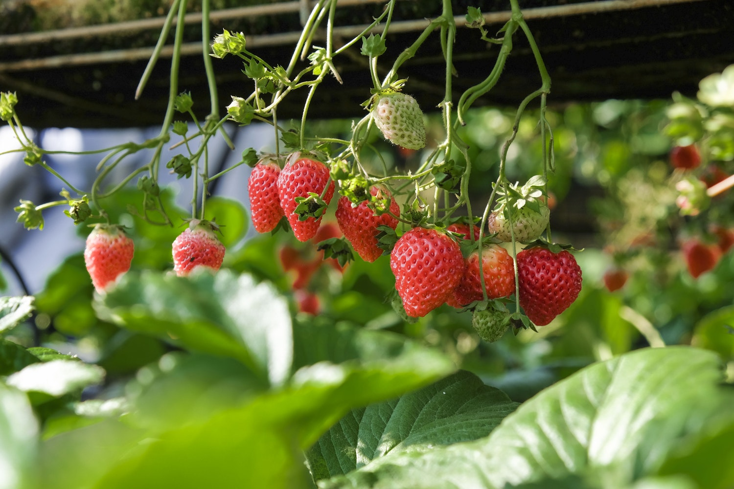 strawberry plant, strawberries