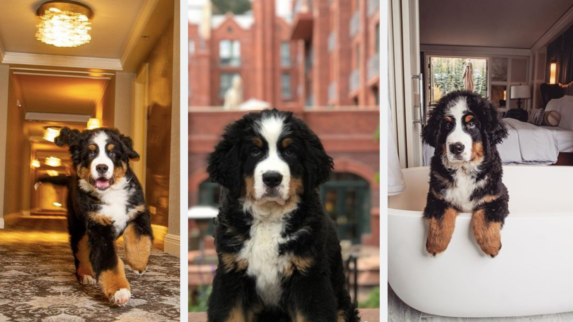 Cozy Up With A Bernese Mountain Dog At This Aspen Hotel