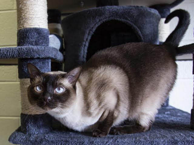 blue-eyed cat on cat tower
