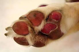 Burnt Dog Paw