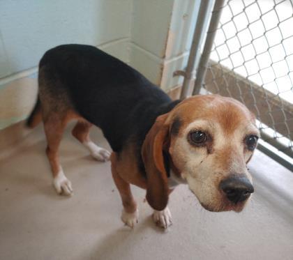 Andie, Beagle