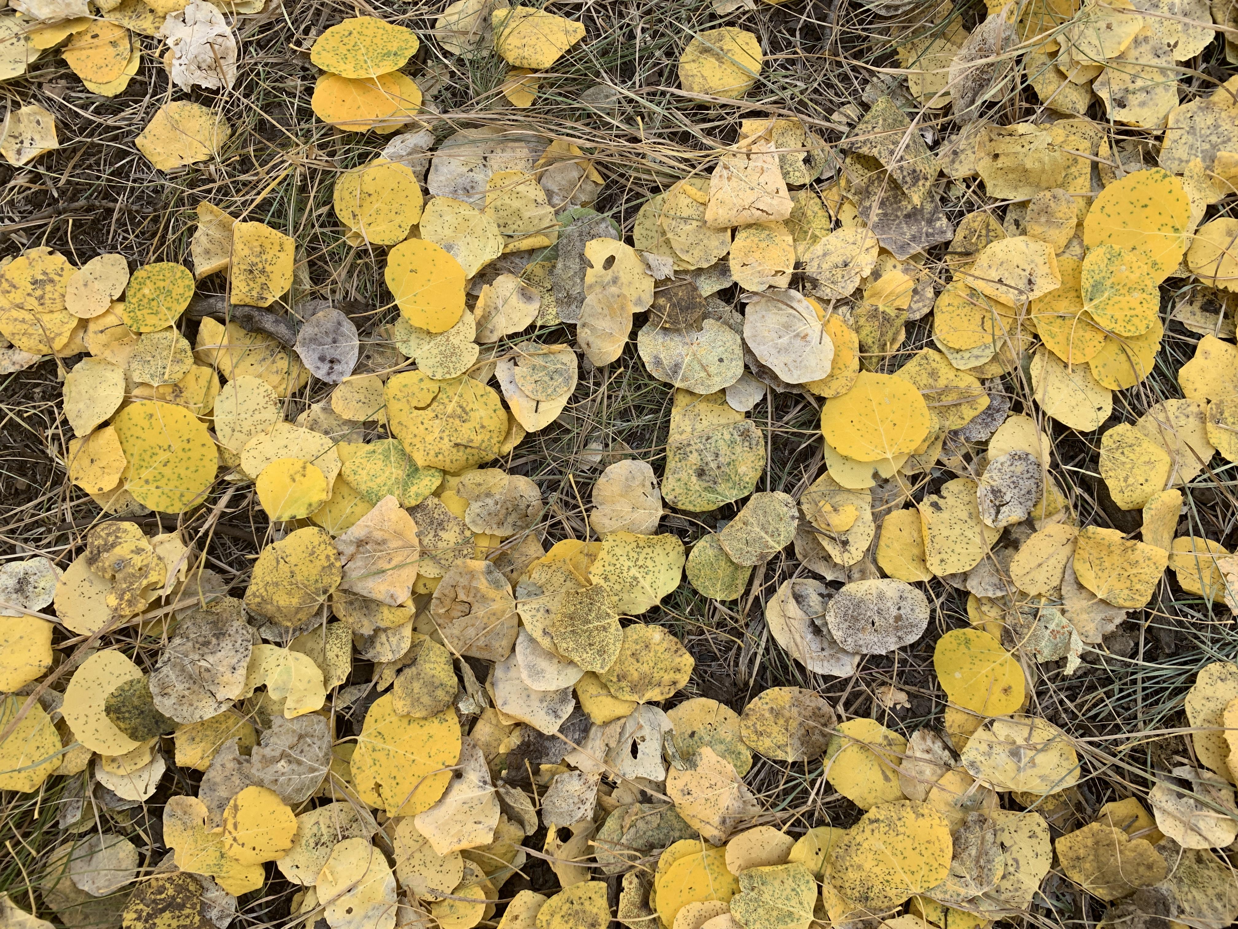 aspen leaves on the ground