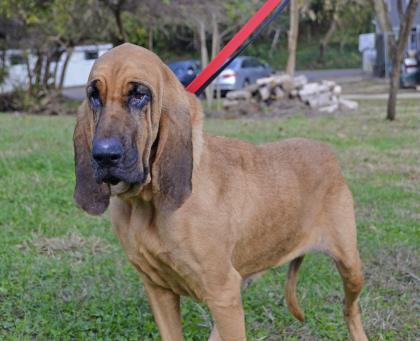 Ellie, Bloodhound
