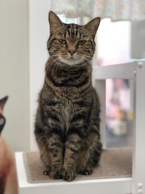 stoic tabby cat