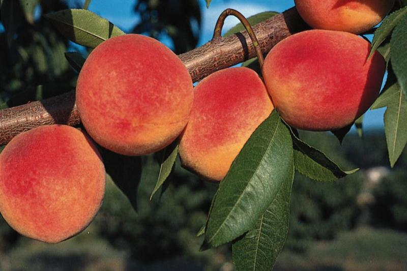 redhaven peach tree