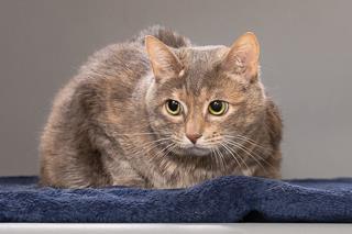 Bella Calico Cat