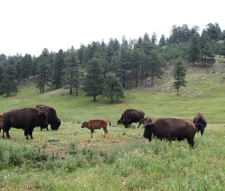 Buffalo herd genesee