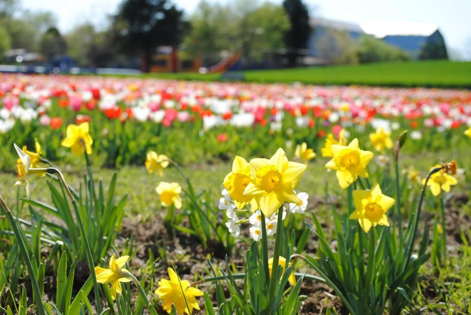 daffodils, tulips