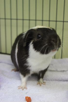 Chatterbox, guinea pig