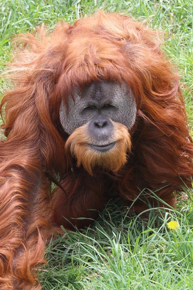 Junie the orangutan