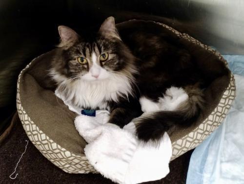 Percy, Cat