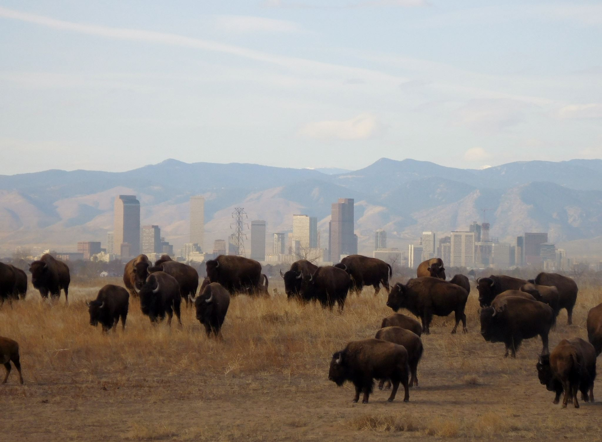 Rocky Mountain Arsenal bison