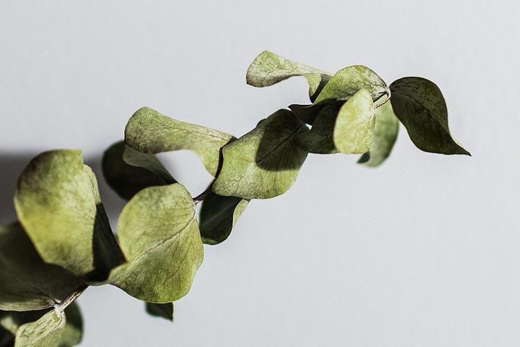 The eucalyptus plant