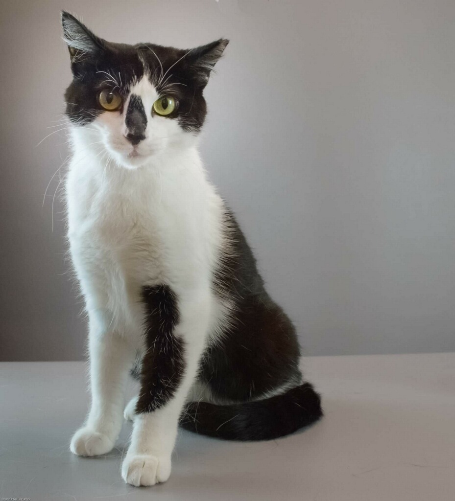 black and white cat with green eyes, posing