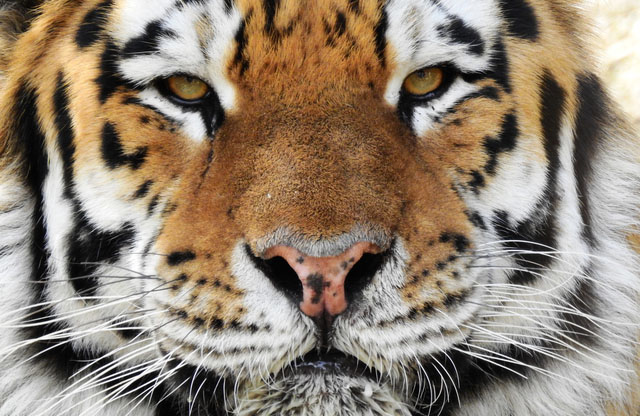 tiger cmzoo