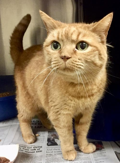 Alexa, Orange Tabby Cat