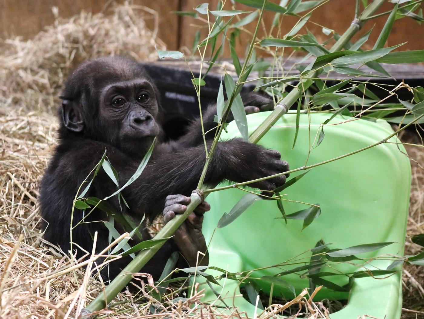 Moke the baby gorilla