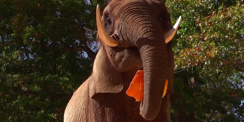 Elephant eating pumpkin