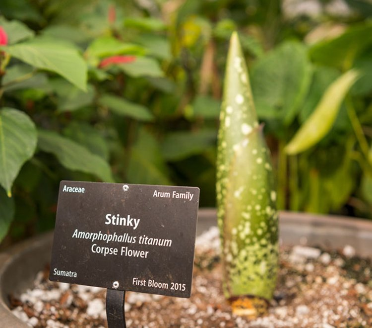 corpse flower blooming