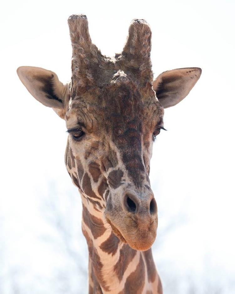 Dikembe giraffe