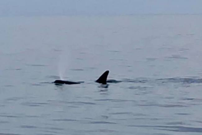 Orca/killer whale spotted by Playin' Hookey Charters in Virginia Beach