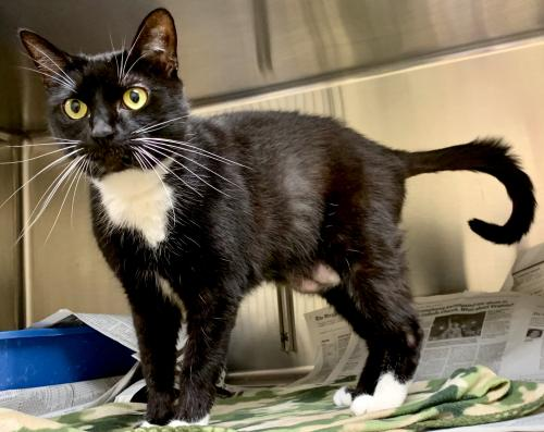 Salem, Black and White Cat