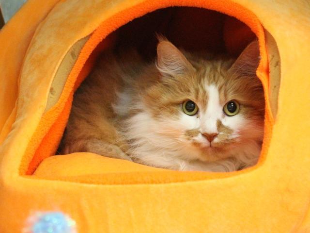 Ariel Orange Tabby