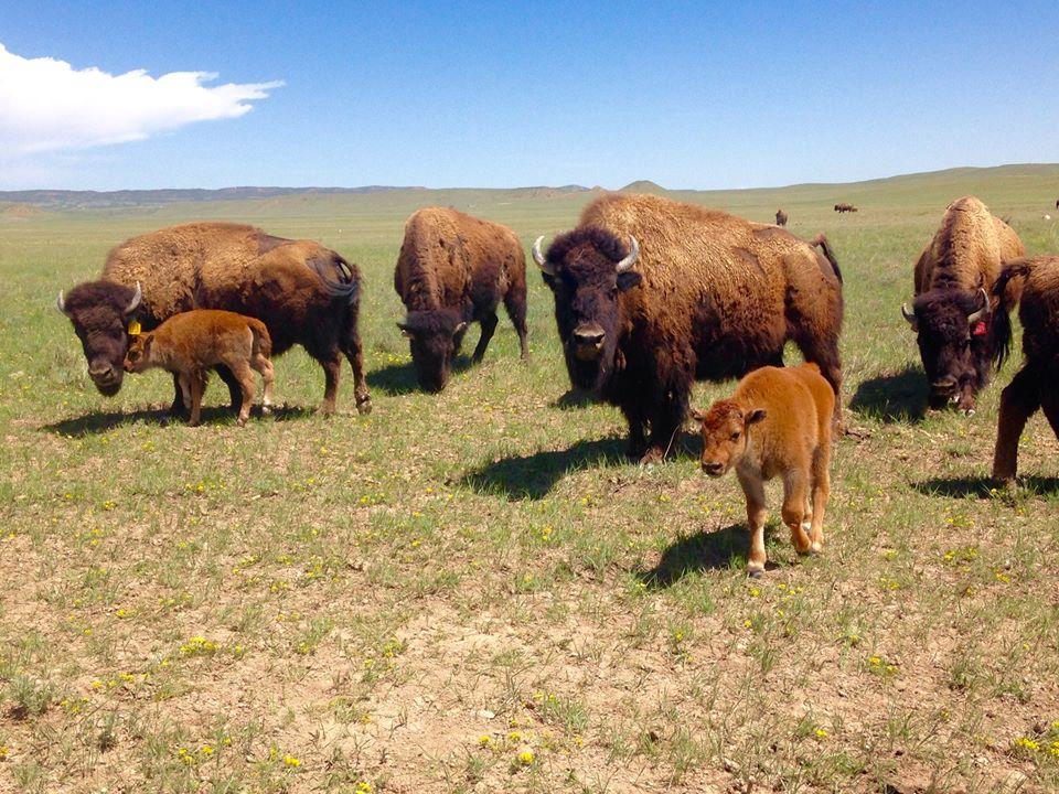 Laramie bison herd