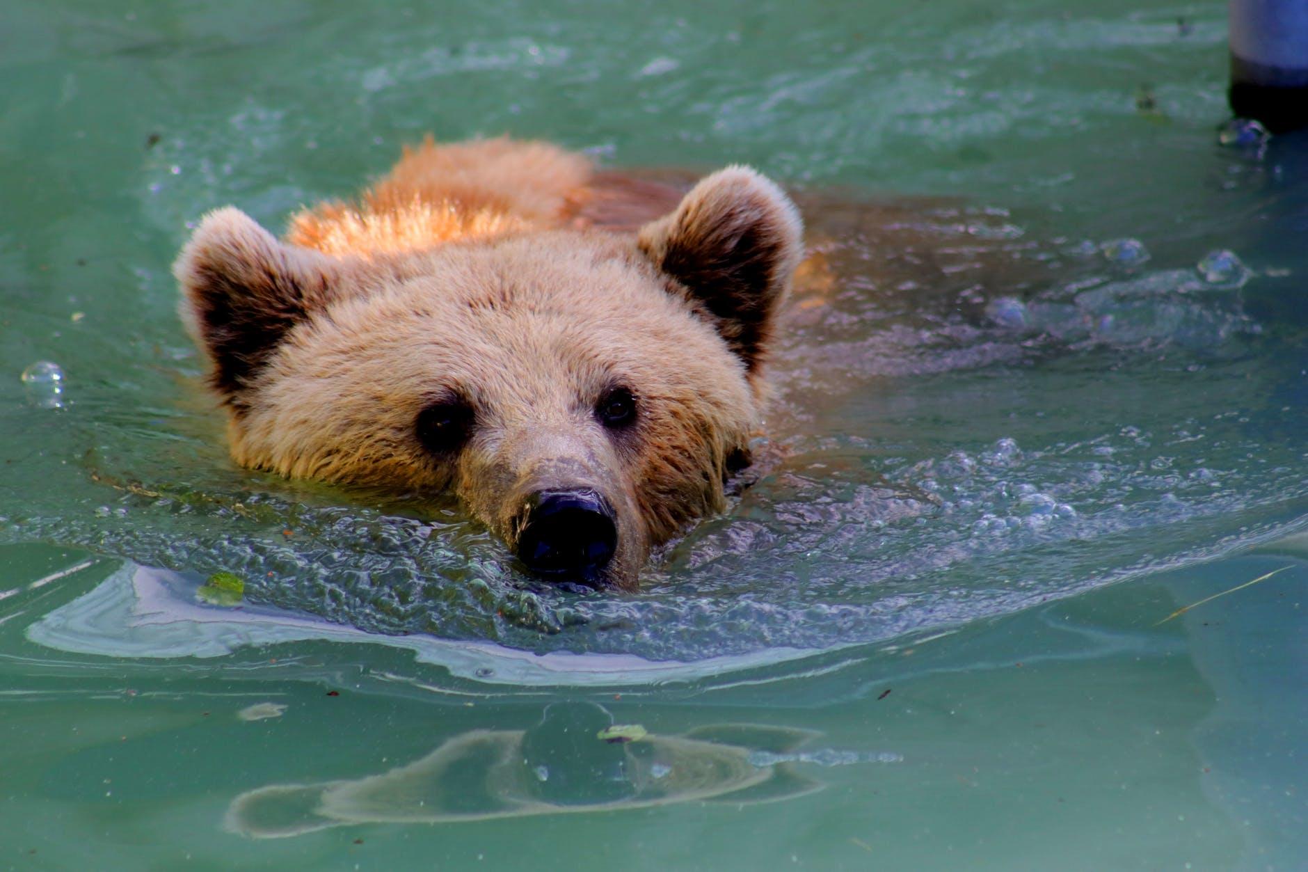 bear swimming in water pexels