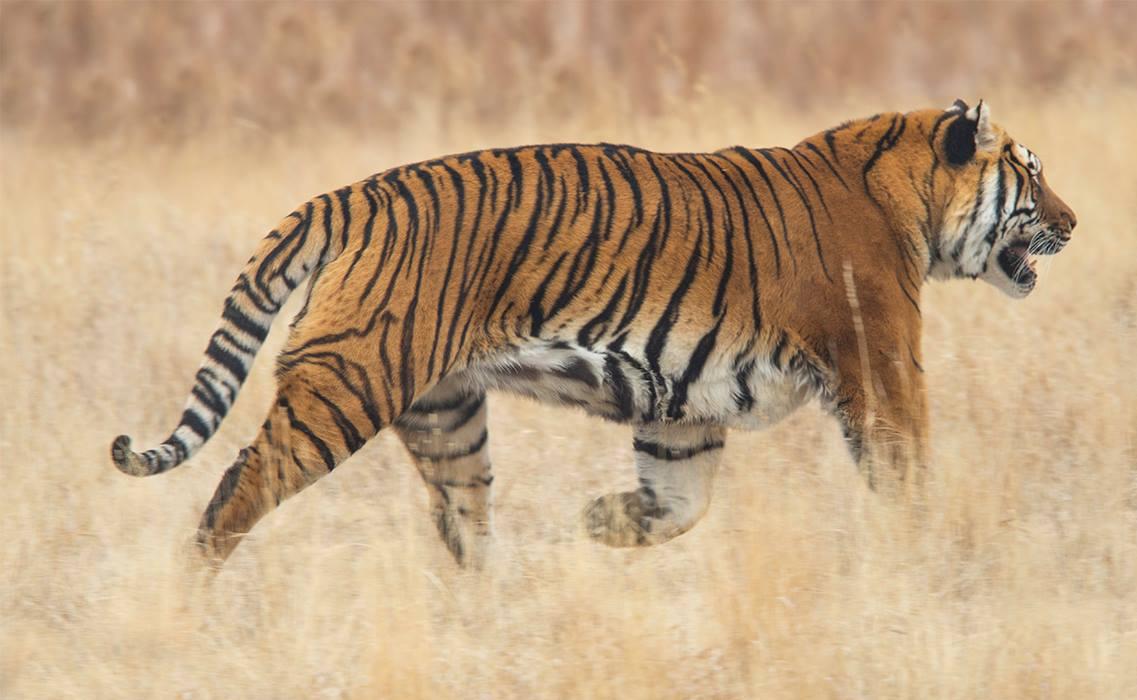 tiger at twas