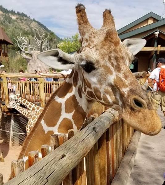 Msitu the Giraffe