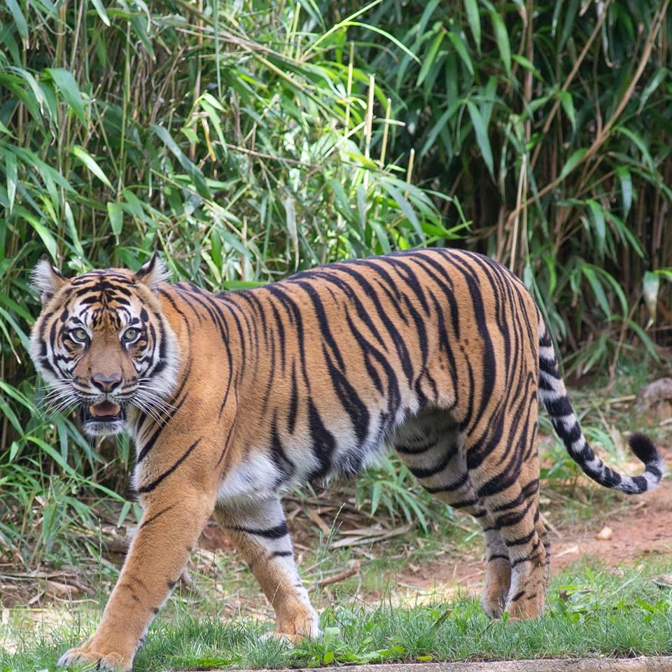 tiger, zoo