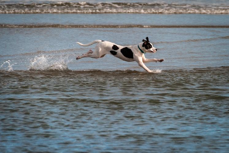 dog running, water