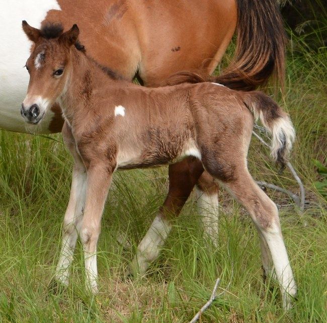 New Assateague Island colt.